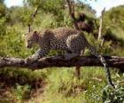 Jaguar sur une branche d'arbre