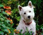 Le West Highland White Terrier, plus couramment appelé « Westie », est une race de chiens d'origine écossaise connue pour sa personnalité