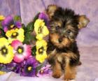 Chiot Australian Silky Terrier