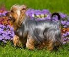 Australian Silky Terrier ou un terrier est originaire de l'Australie