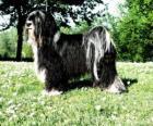 Le terrier tibétain ou Terrier du Tibet est une race de chiens à poil long et de taille moyenne