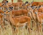 Les Gazelles
