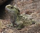 Le Sphénodon sont des reptiles endémiques des îles environnantes en Nouvelle Zélande