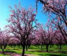 Fleurs aux amandes arbres au printemps