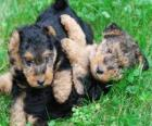 Chiot le Welsh Terrier, ou Terrier Gallois