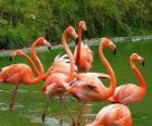Flamants roses dans l'eau, grands oiseaux aquatiques au plumage rose