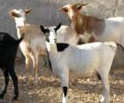 Chèvres domestiques