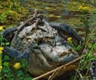 Alligator américain, l'un des plus grand crocodile dans les Amériques, une espèce protégée aux États-Unis