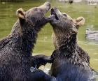 Deux ours dans l'eau