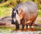 Hippopotame sauvage