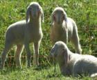 Trois agneaux