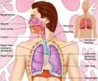 L'appareil respiratoire (Anglais)