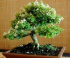 bonsai, arbre miniature dans un plateau en fonction de l'art japonais du bonsaï