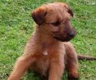 Chiot Terrier irlandais