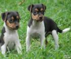 Chiots Terrier brésilien
