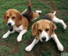 Chiots Foxhound américain