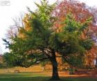 Le Ginkgo biloba ou arbre aux quarante écus