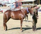 Waler chevaline Originaire D'Australie