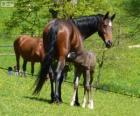 Altwürtemberger, ou Würtemberger, chevaux originaire d'Allemagne