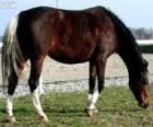 Wielkopolski chevaux originaire de Pologne