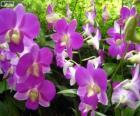Orchidées lilas