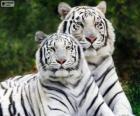 Tigres du Bengale blancs