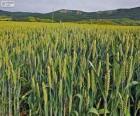 Champ de céréales au printemps