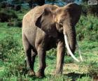 Un éléphant avec défenses