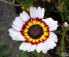Chrysanthemum tricolor