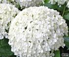 Fleurs d'hortensia blanc