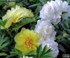 Fleurs de pivoine