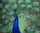 Paon bleu, mâle