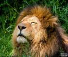 Lion sous le soleil