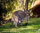 Kangourou gris