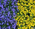 Photo avec beaucoup de fleurs en deux couleurs bleu et jaune