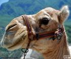 Tête de chameau d'Arabie