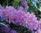 Fleurs pourpres d'Azalée