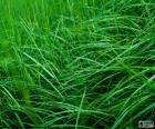 Gazon ou pelouse