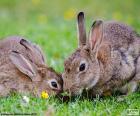 Deux lapins manger