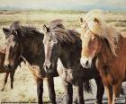 Trois chevaux islandais