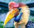 Le Calao à casque rond est un grand oiseau, originaire de la péninsule de Malacca et les îles de Sumatra et Bornéo