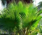 Feuilles de Washingtonia