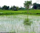 Champ de riz, Indonésie