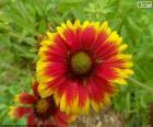 Fleur Gaillardia pulchella