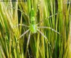 Araignée Lynx vert