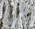 Branches de sapin gelé