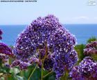 Fleurs de Limonium perezii