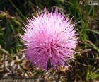 Fleur de Mimosa borealis