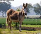 Une âne commun