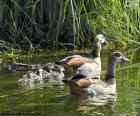 Famille d'oies du Nil